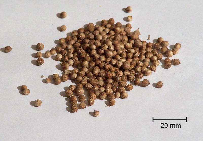 corianderseeds